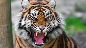 20170523092635-tiger.png